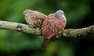 Ruddy Ground Dove, ML233581131