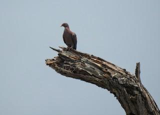 Red-billed Pigeon, ML233686291