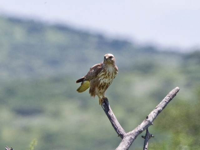 Common Buzzard (Steppe)