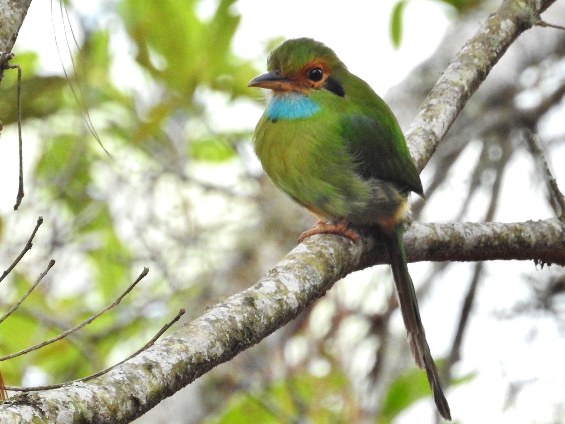 Blue-throated Motmot - Héctor Moncada
