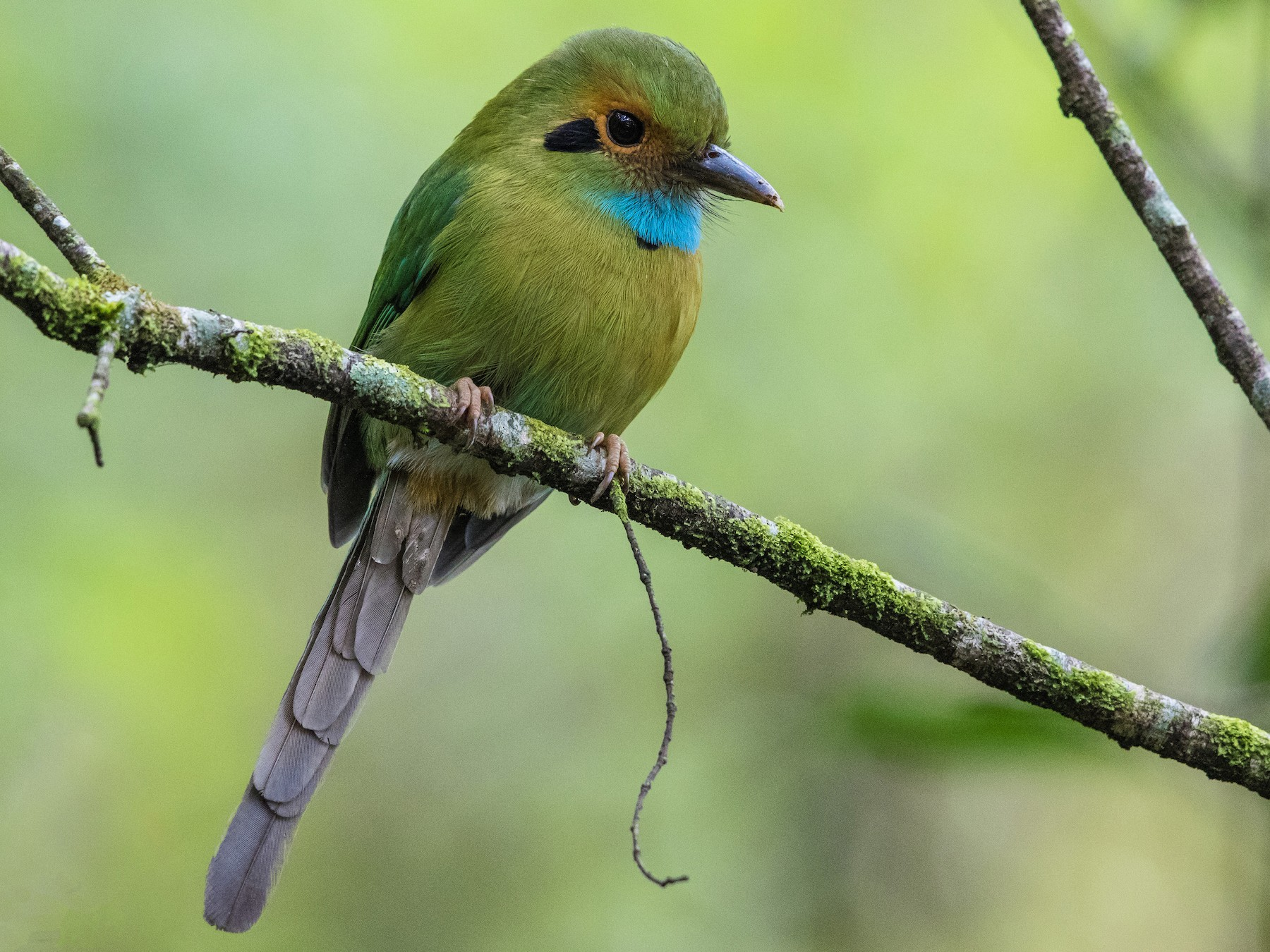 Blue-throated Motmot - Stefan  Hirsch