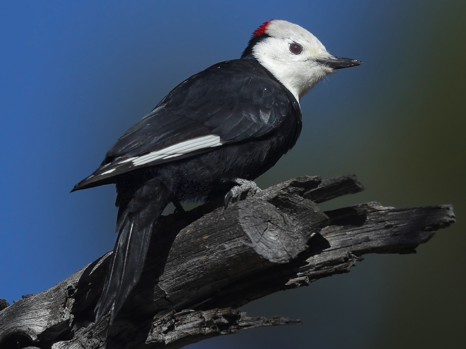 White-headed Woodpecker - Matt Davis