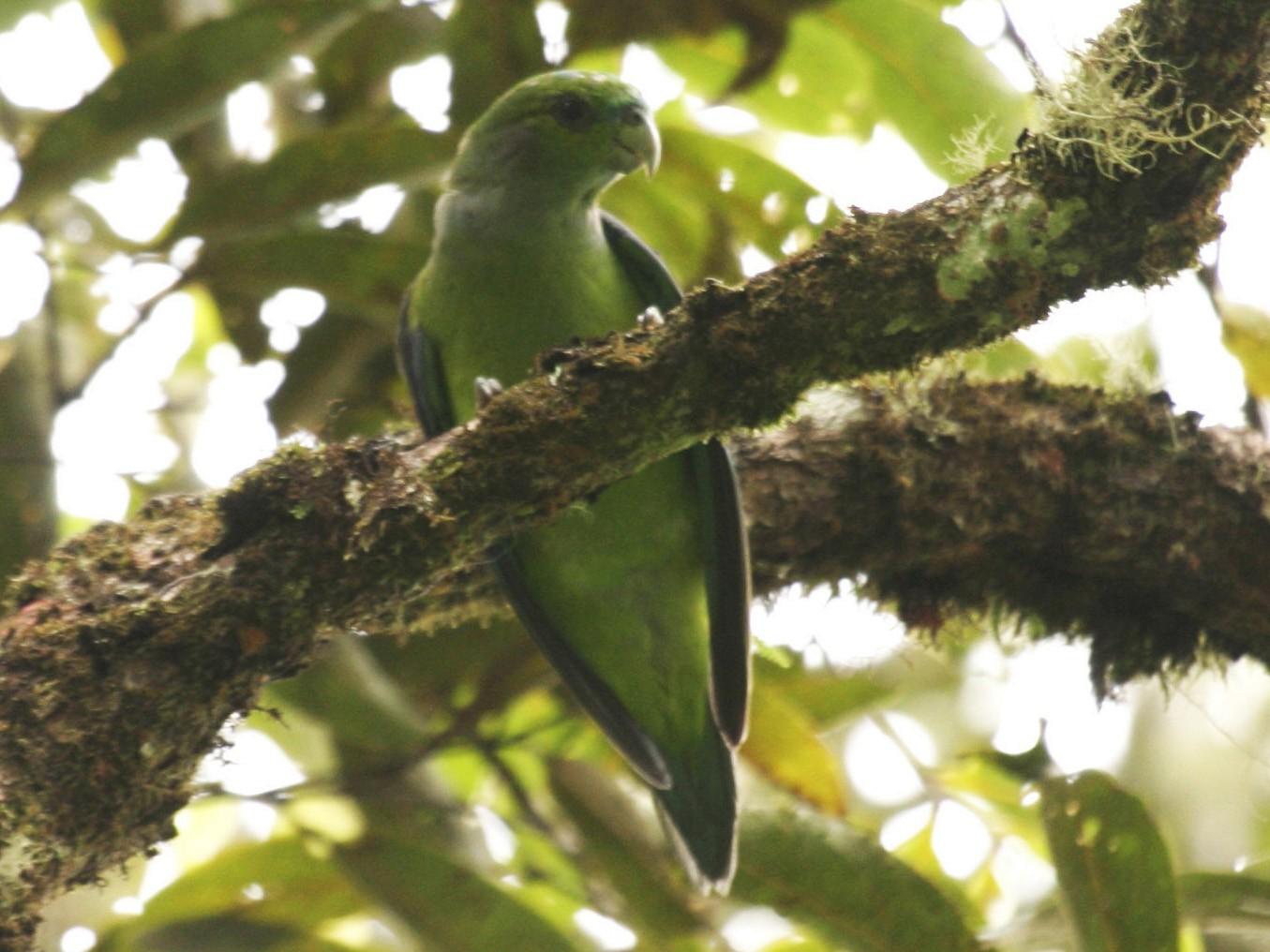 Black-winged Parrot - Joseph Tobias