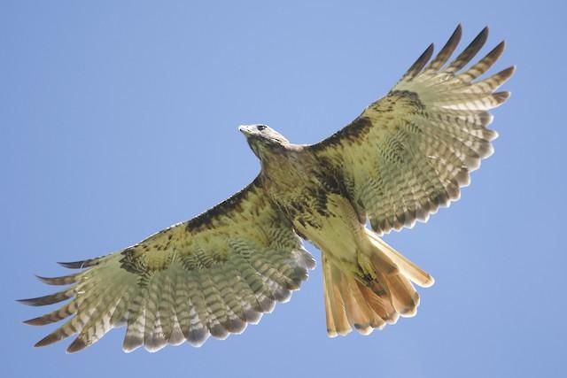 Red-tailed Hawk (umbrinus)