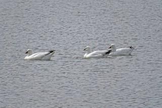 Ross's Goose, ML234104011