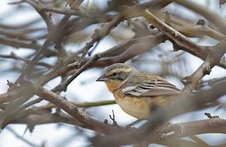 - Cinnamon Warbling-Finch