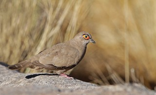 - Bare-eyed Ground Dove