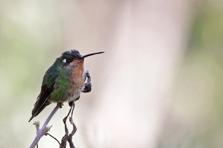 - Blue-capped Puffleg