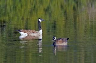 Canada Goose, ML23450221