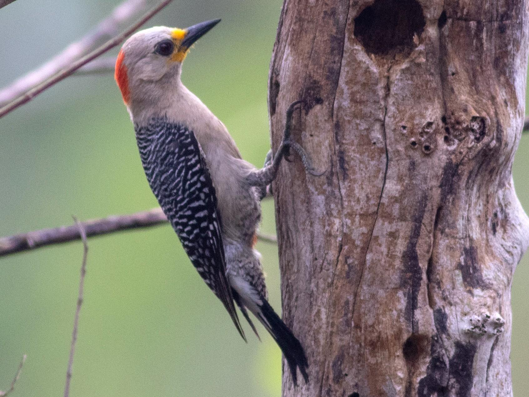 Yucatan Woodpecker - Francis Canto Jr