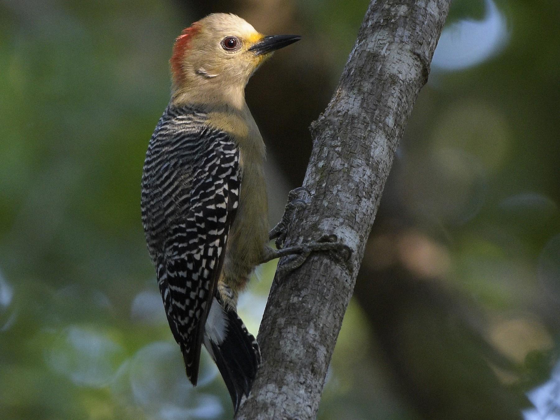 Yucatan Woodpecker - Carlos Echeverría