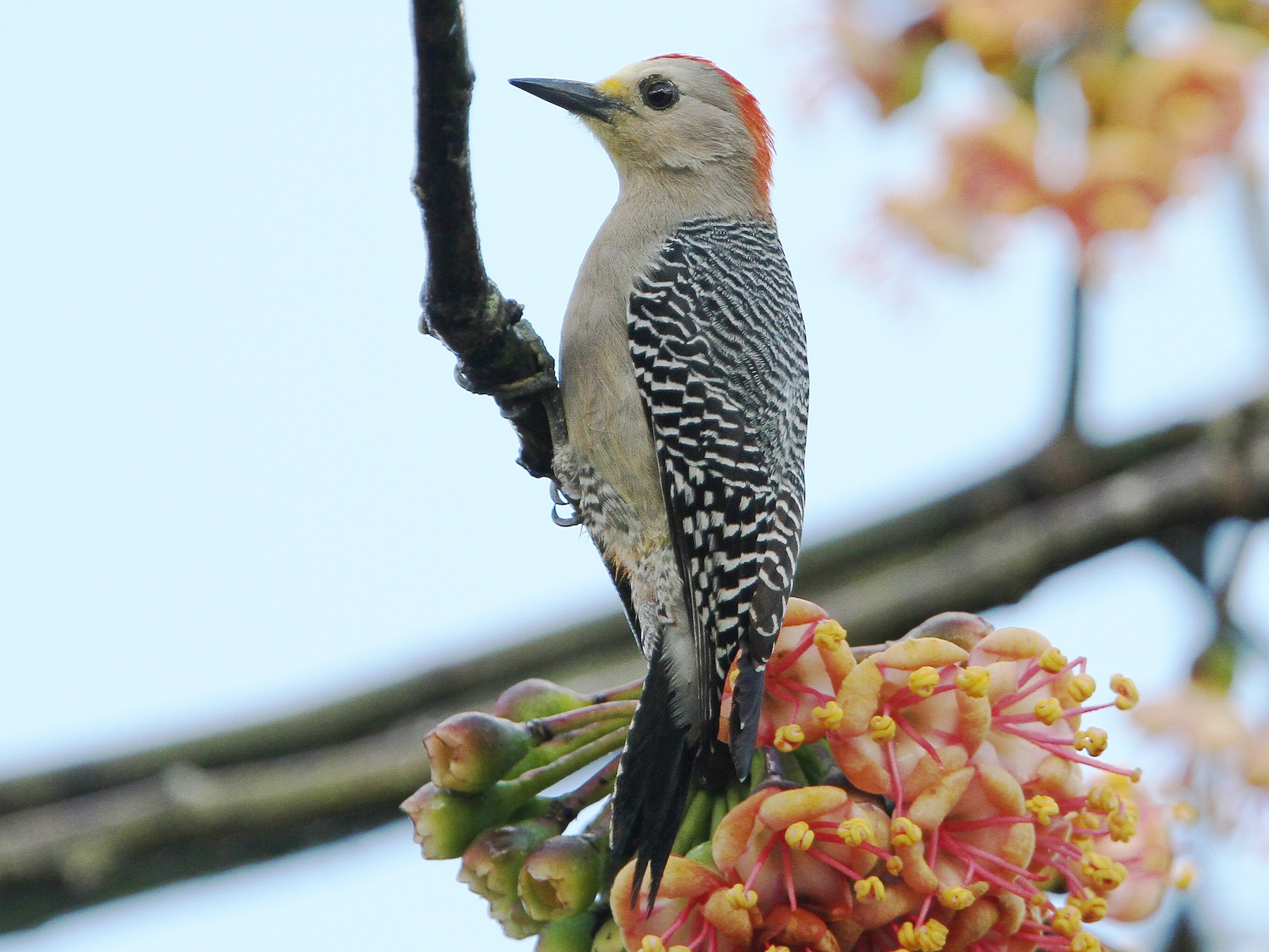 Yucatan Woodpecker - Christoph Moning