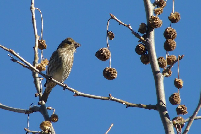 Purple Finch (Western)