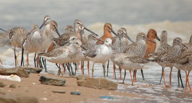 A Nordmann's Greenshank in a  group of Common Redshank, Asian Dowitchers, and Great Knot.