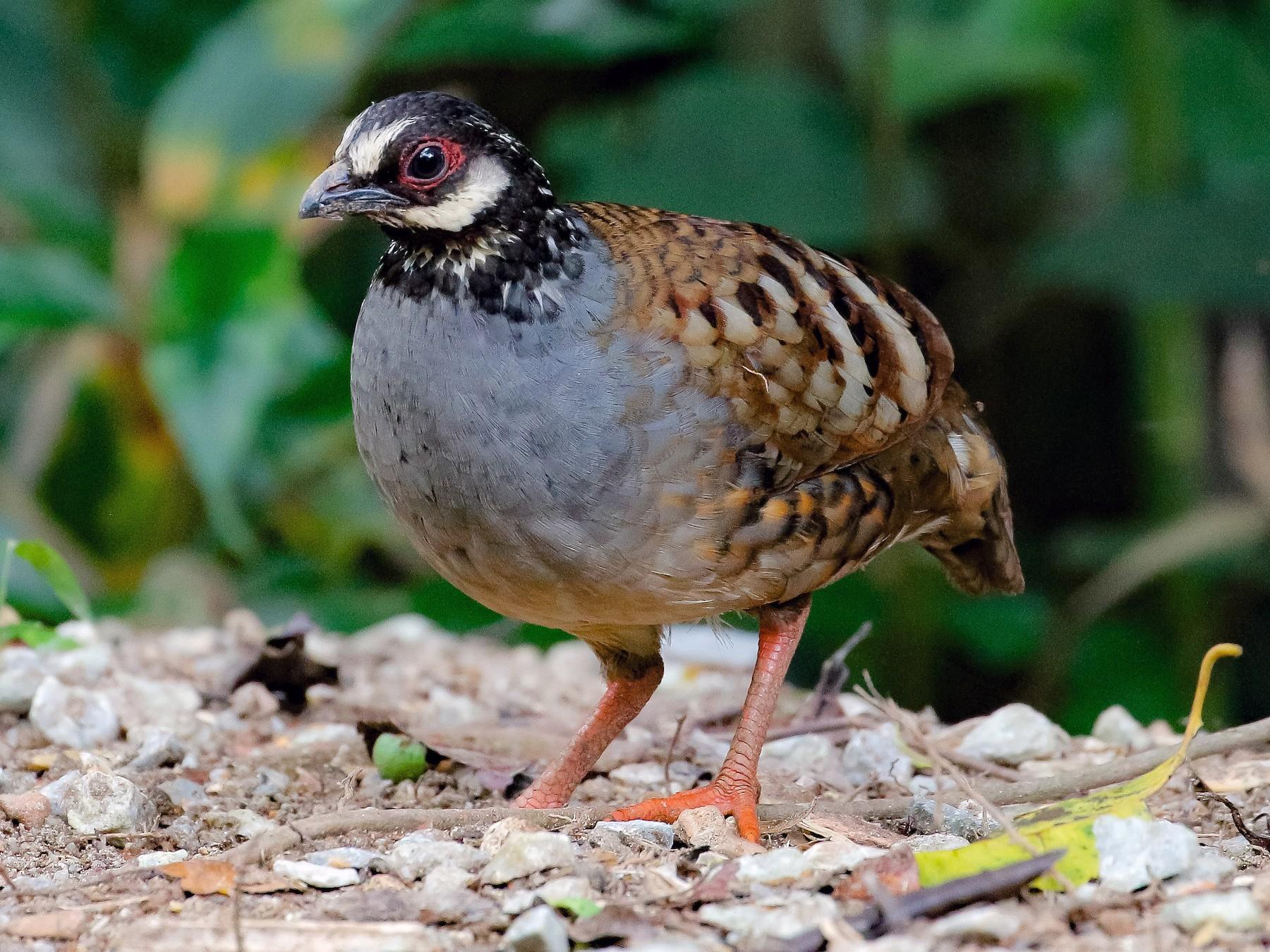 Malayan Partridge - Neoh Hor Kee
