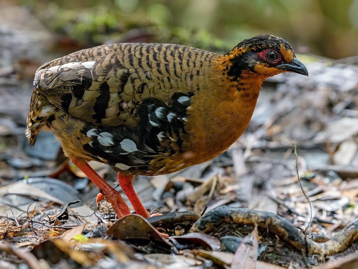 Red-breasted Partridge - Zhong Ying Koay
