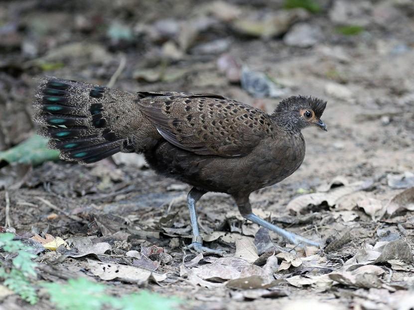 Malayan Peacock-Pheasant - Qiang Zeng