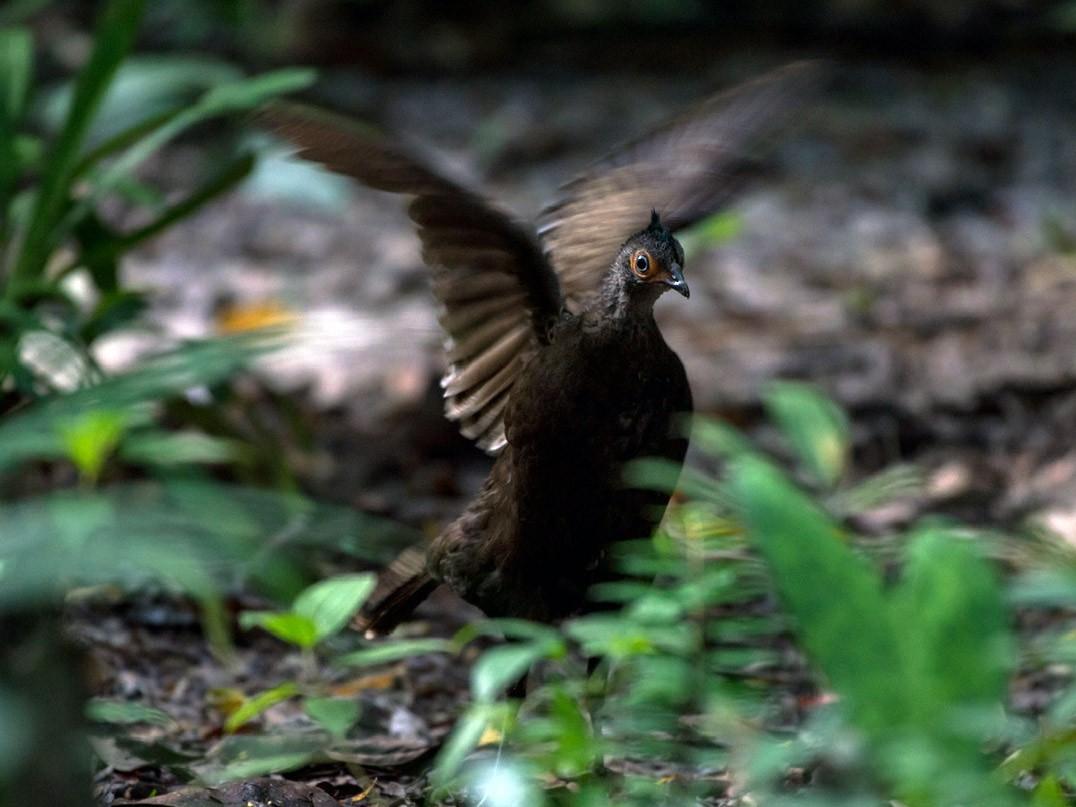 Malayan Peacock-Pheasant - Harn Sheng Khor