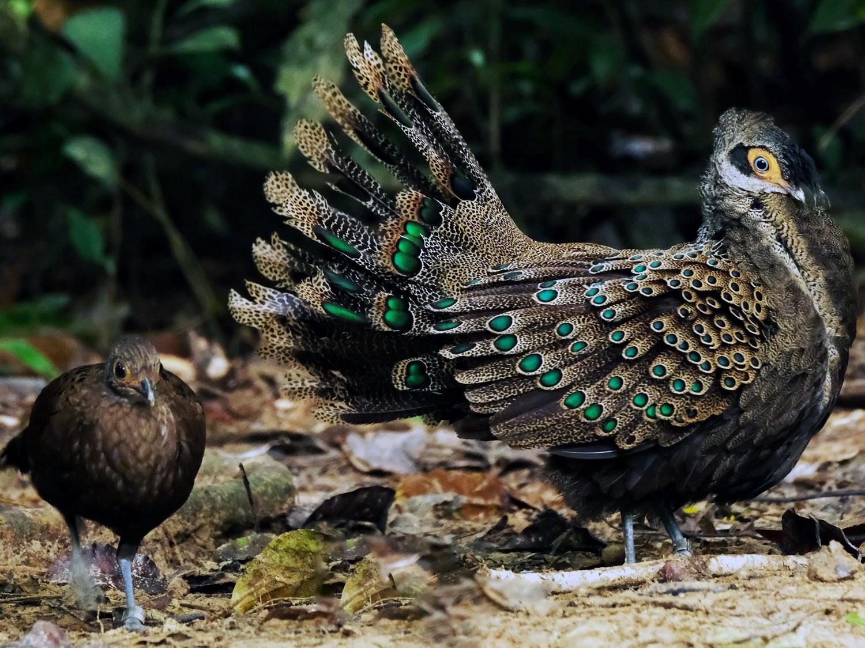 Malayan Peacock-Pheasant - lim ying hien
