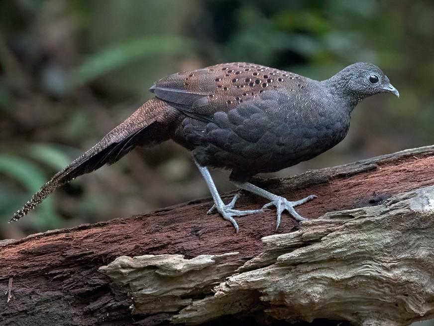 Mountain Peacock-Pheasant - Lars Petersson