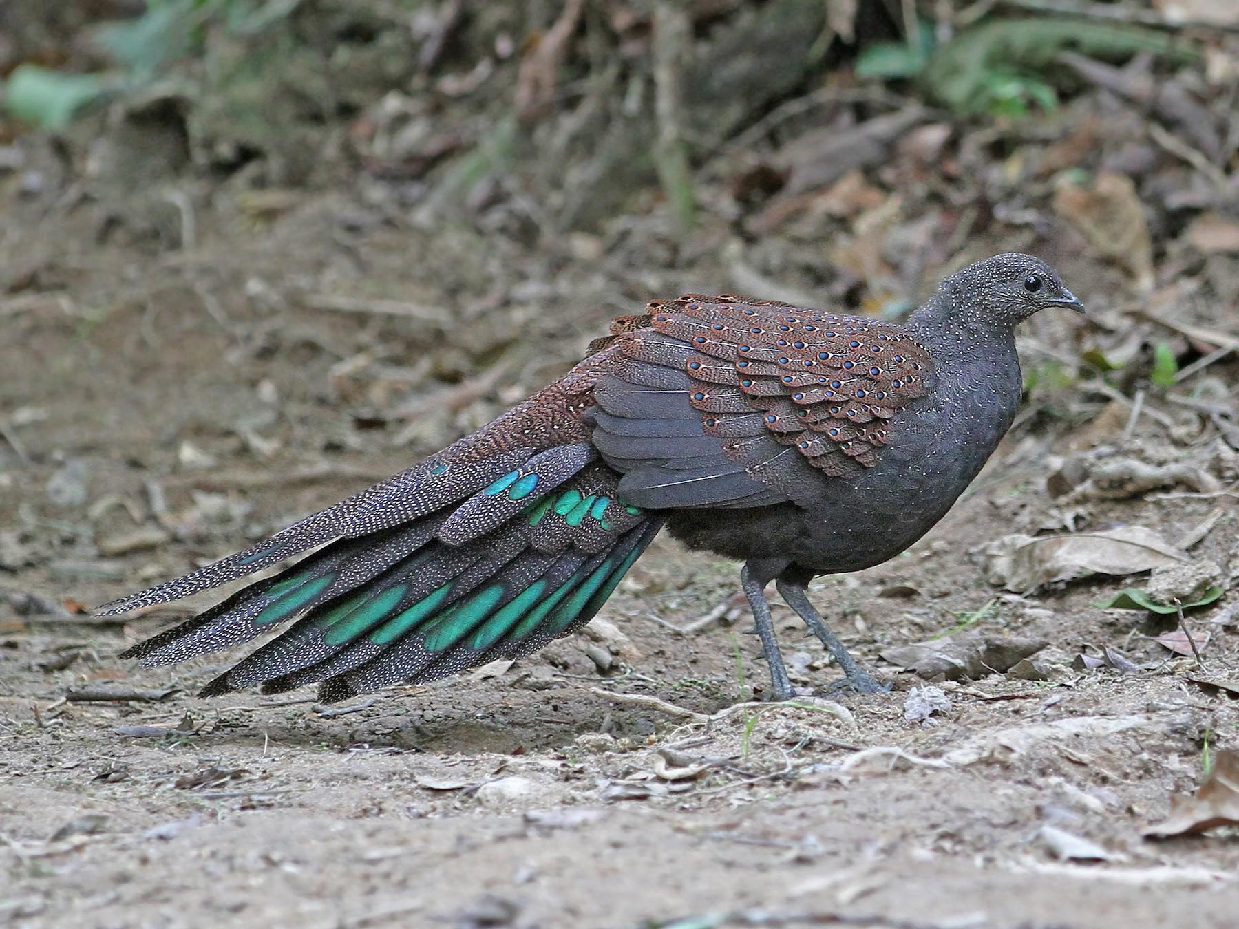 Mountain Peacock-Pheasant - Christoph Moning