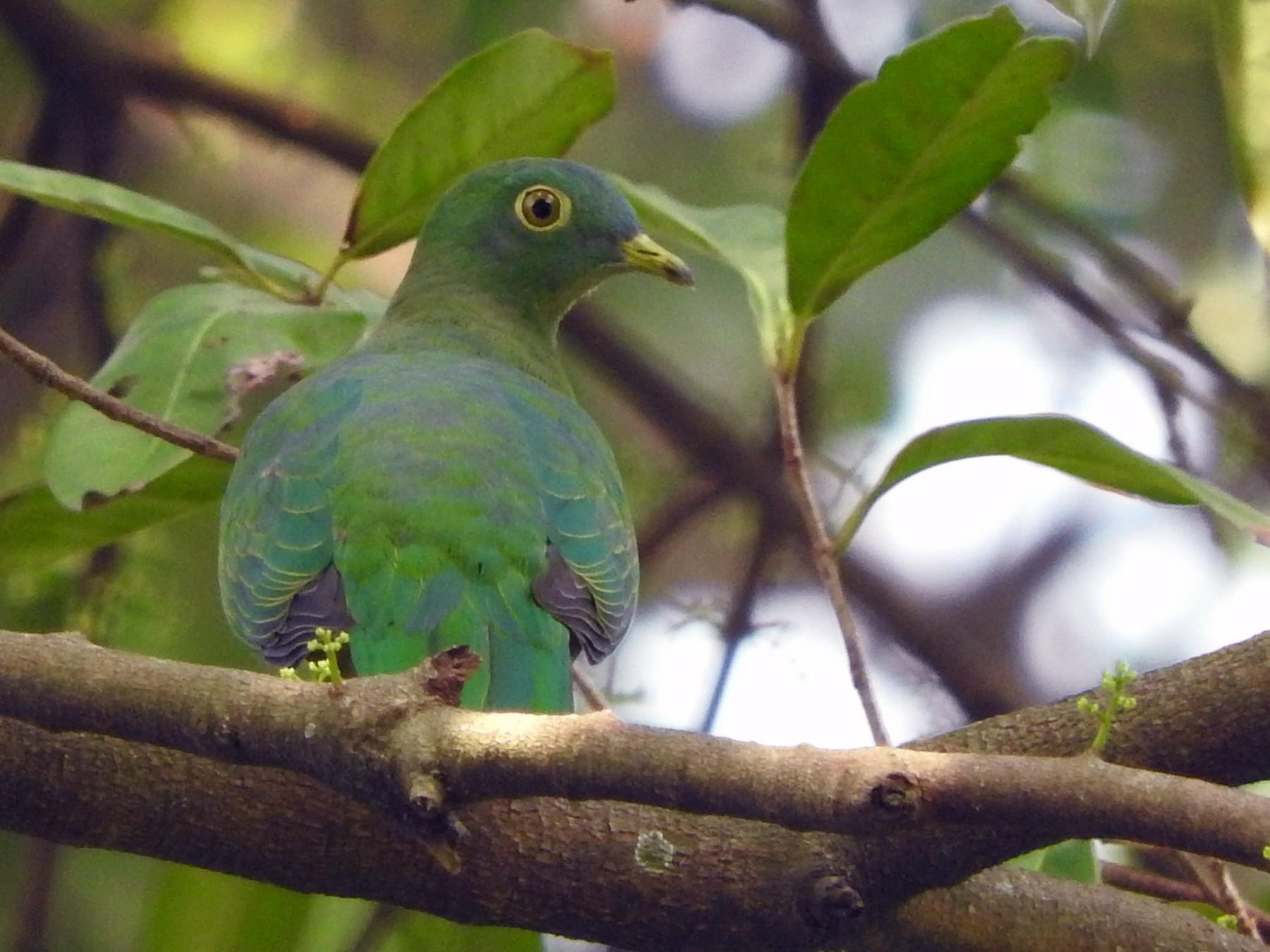 Black-naped Fruit-Dove - Sandy Gayasih