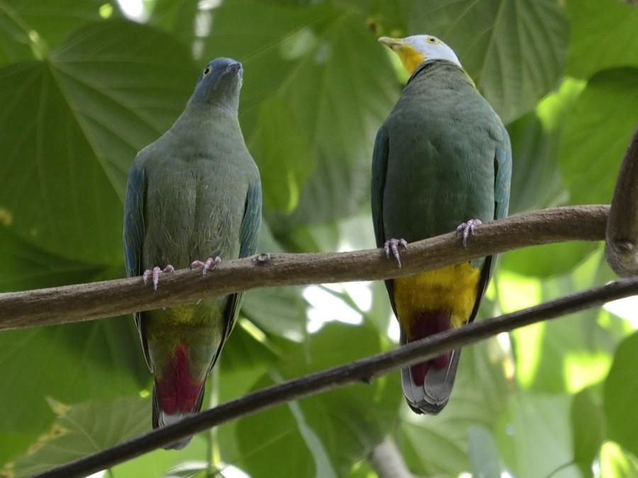 Black-naped Fruit-Dove - Stijn Cooleman