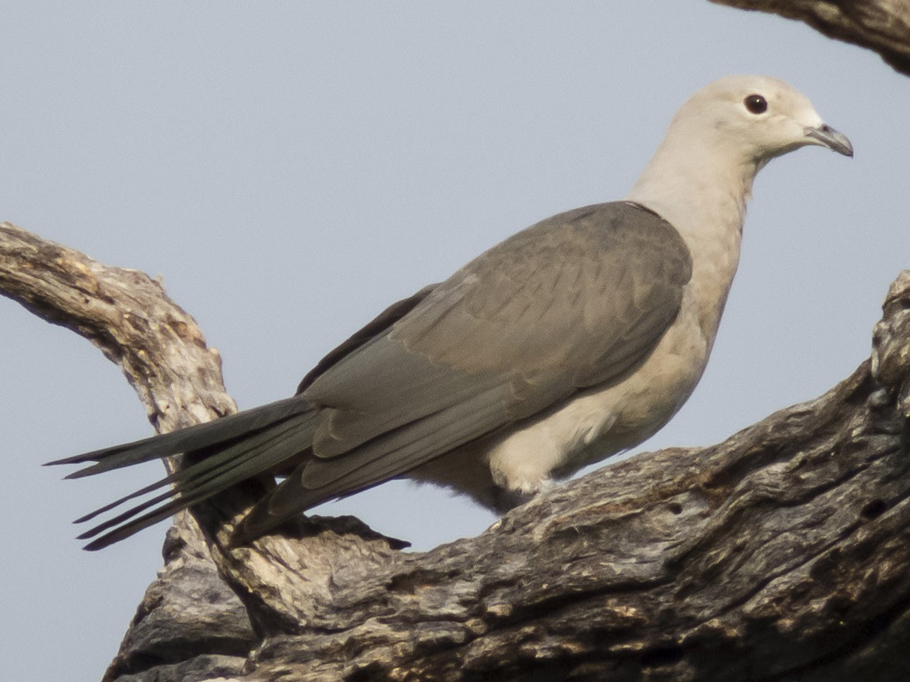 Gray Imperial-Pigeon - Robert Lockett