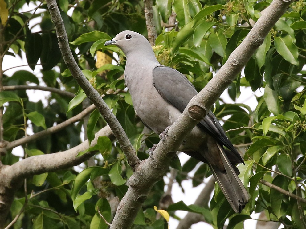 Gray Imperial-Pigeon - Dave Bakewell