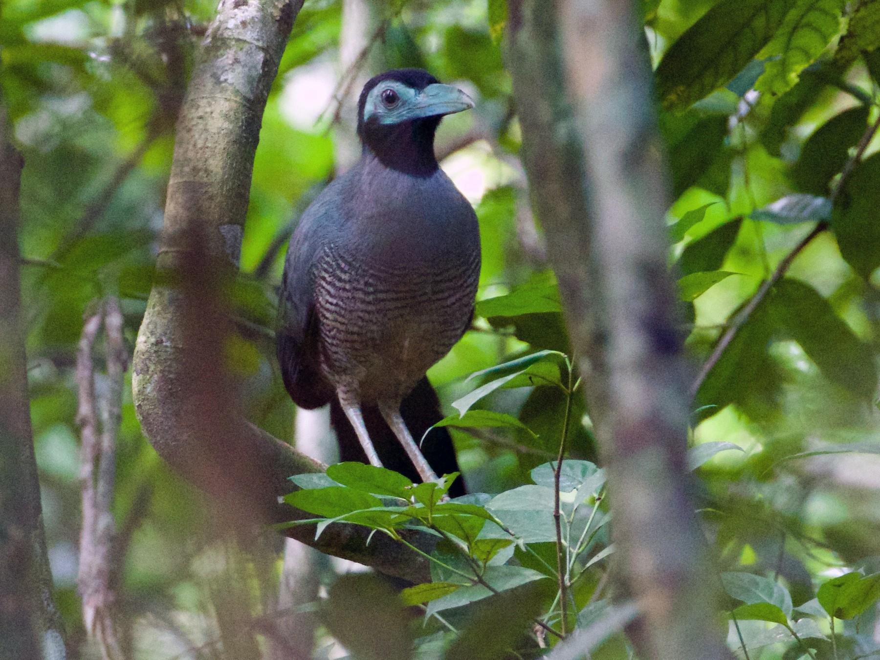 Bornean Ground-Cuckoo - Scott Baker