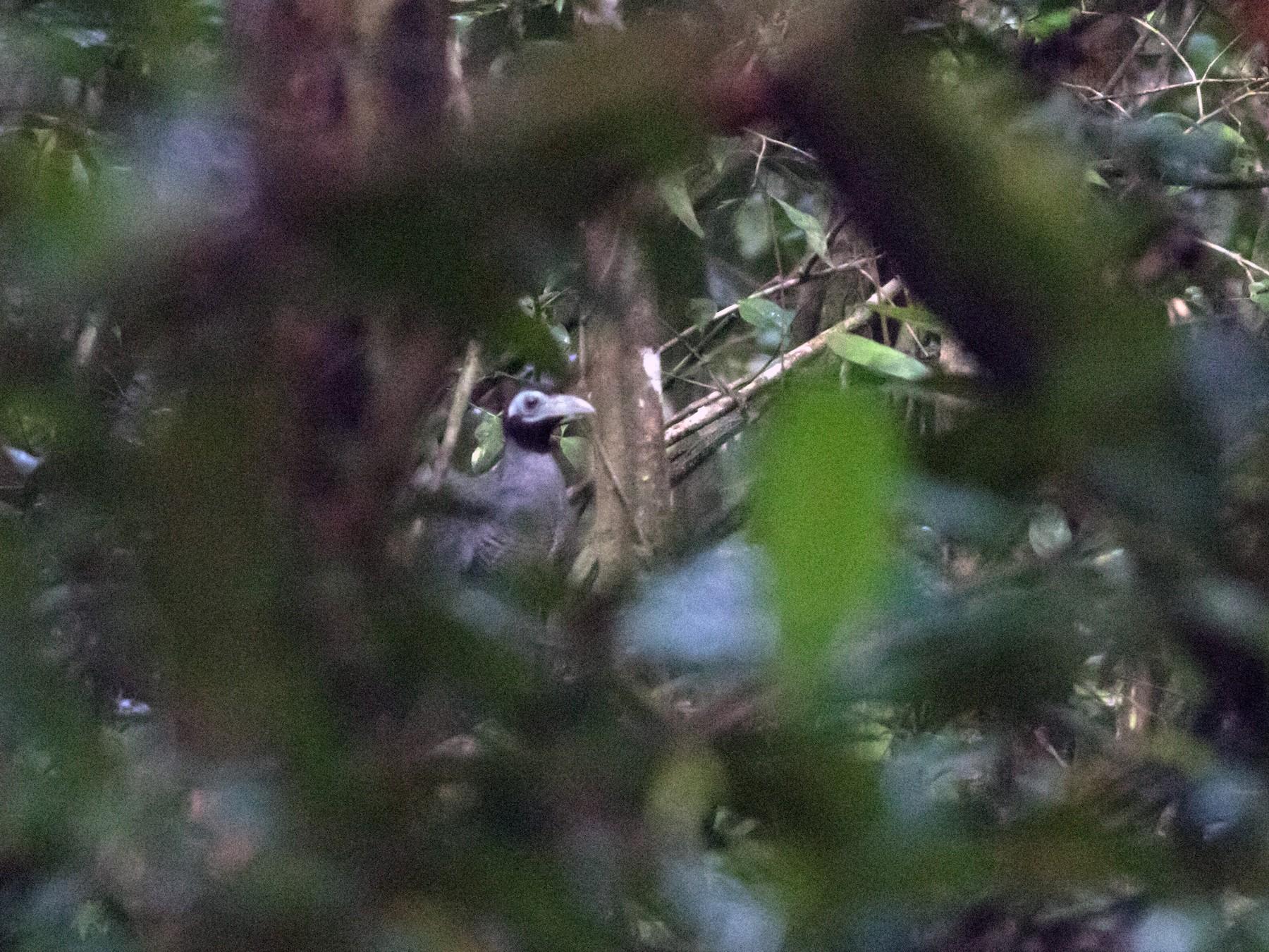 Bornean Ground-Cuckoo - Lucas Bobay