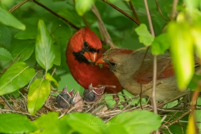 Northern Cardinals with young at nest.