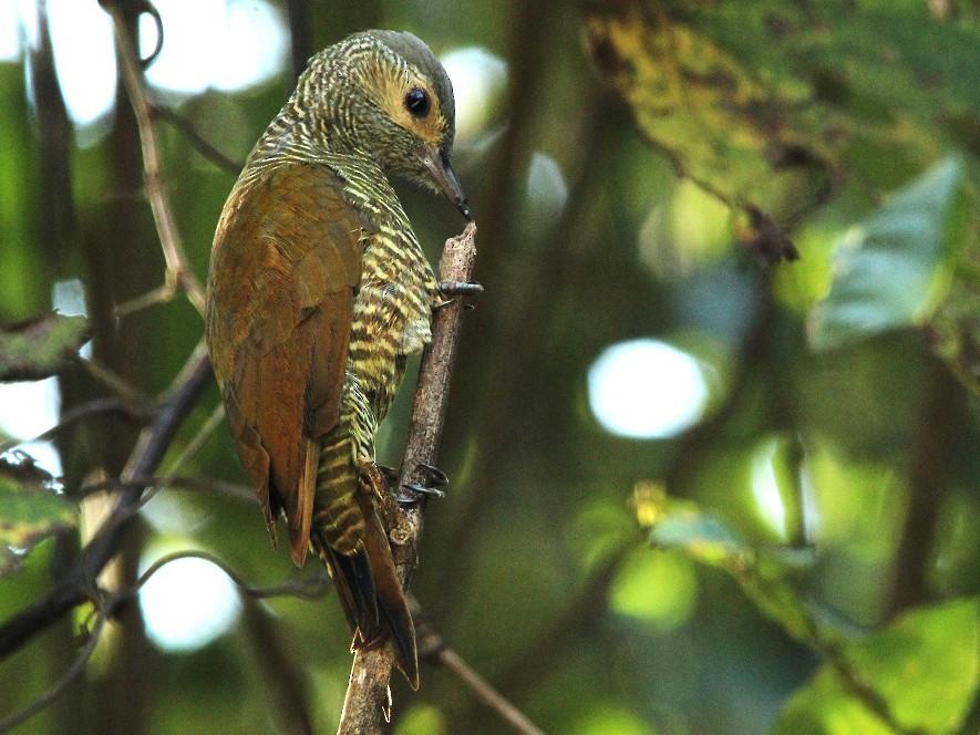 Gray-crowned Woodpecker - Antonio Robles