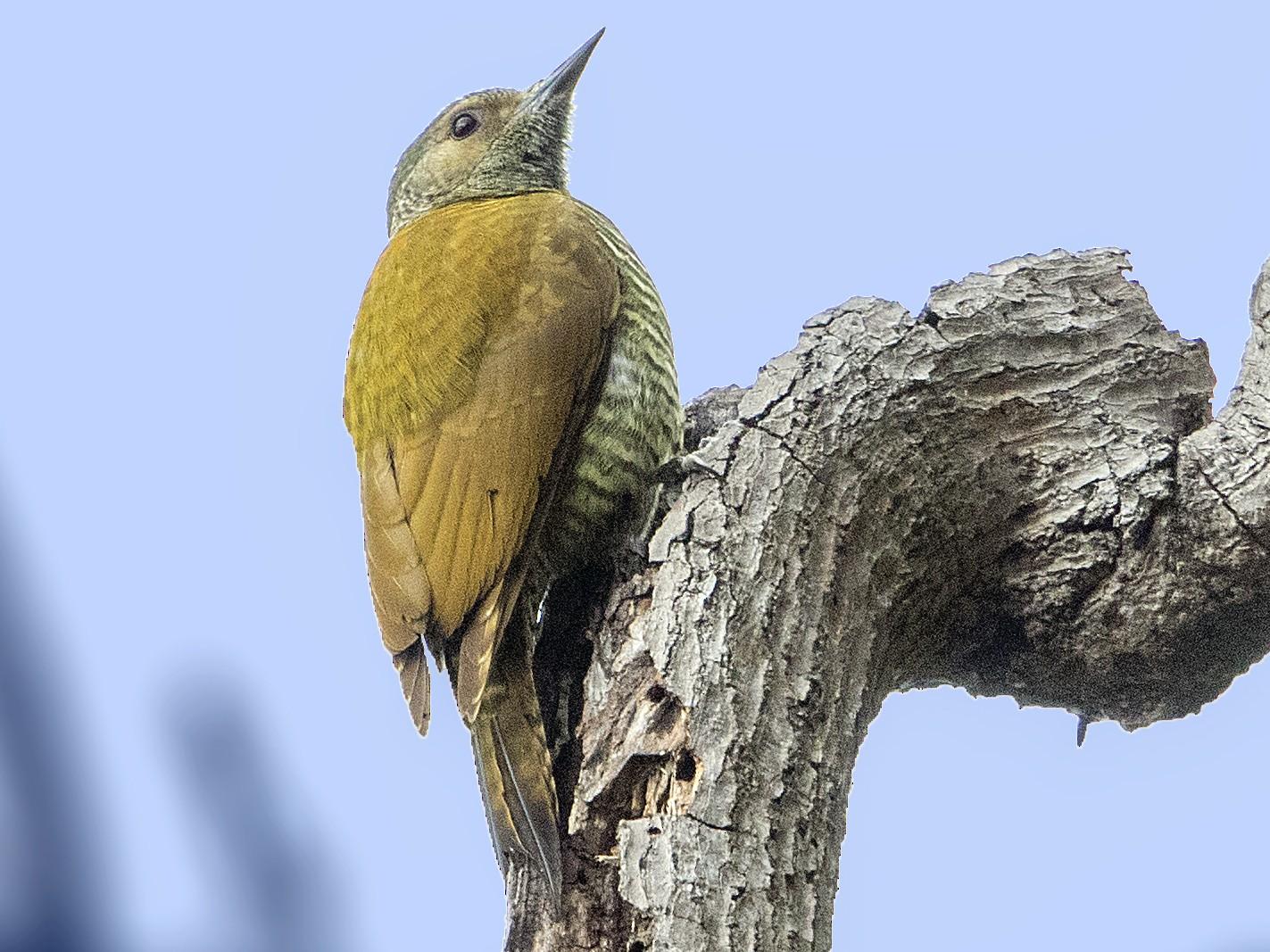 Gray-crowned Woodpecker - Bradley Hacker