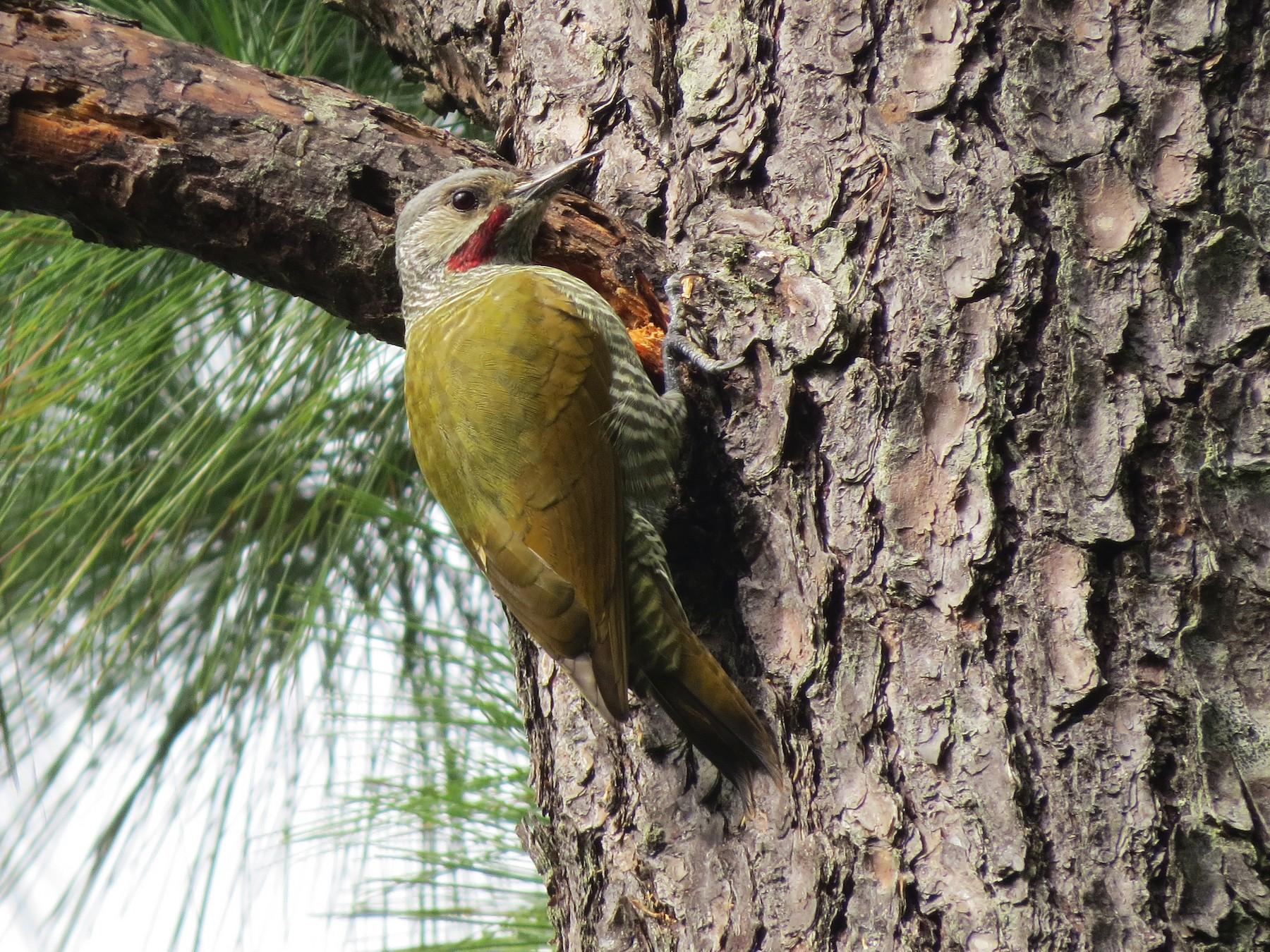 Gray-crowned Woodpecker - Esteban Mendez