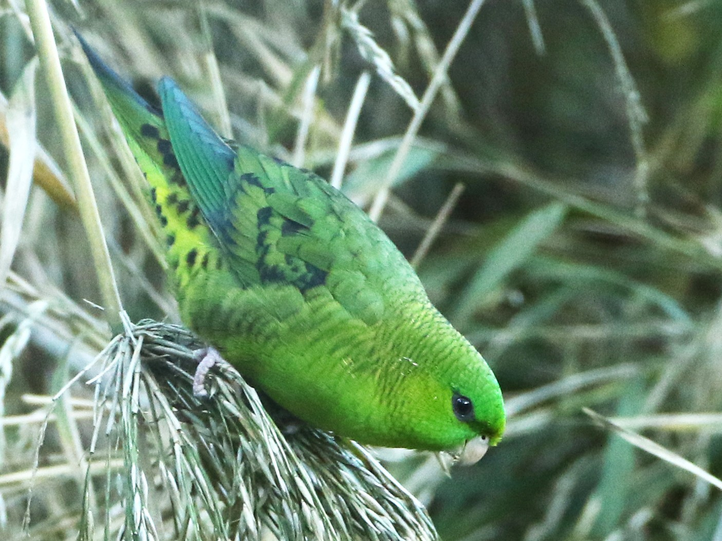 Barred Parakeet - Luke Seitz