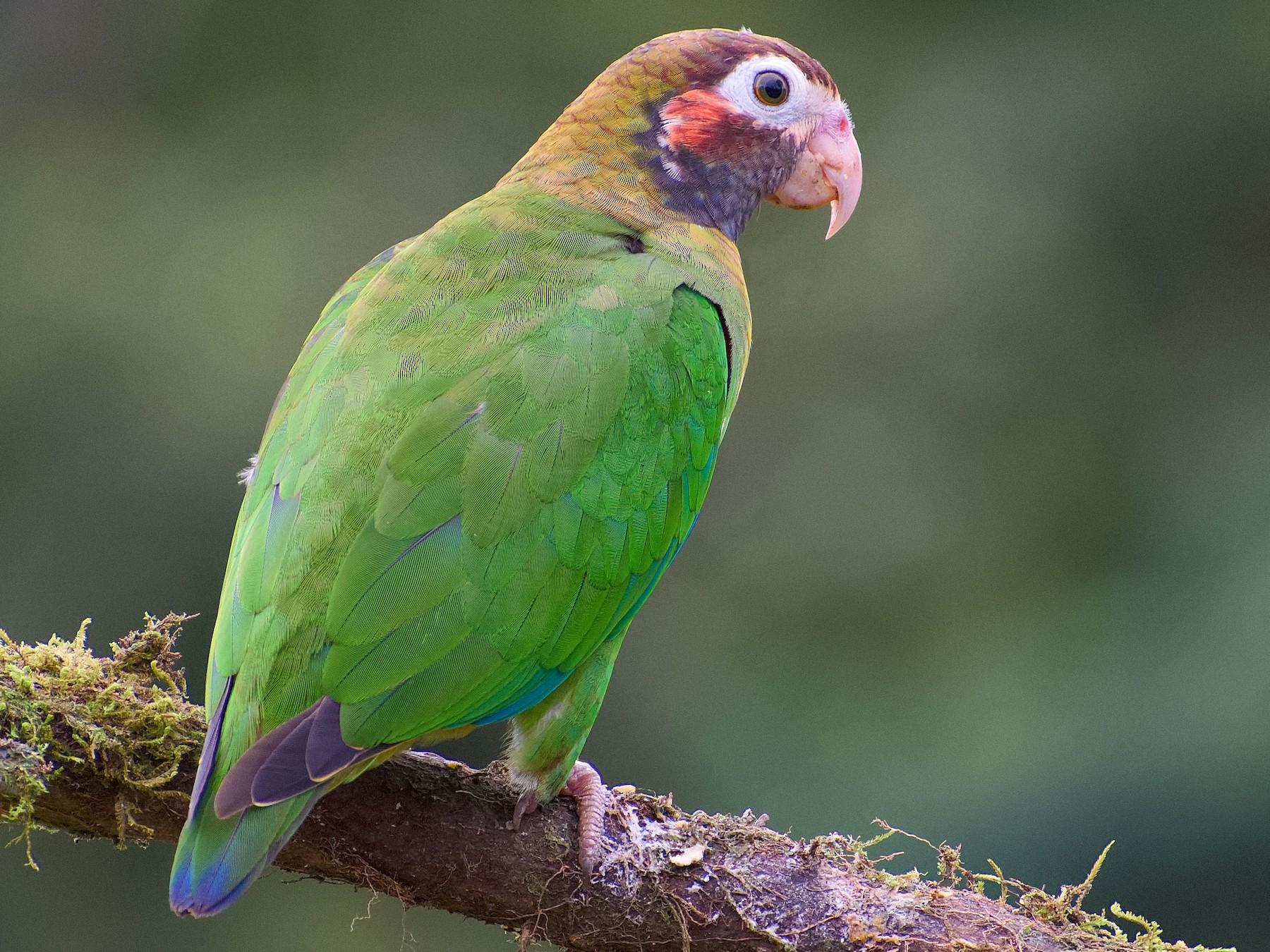 Brown-hooded Parrot - Christopher Becerra