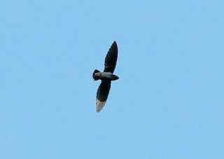 - Silver-rumped Needletail