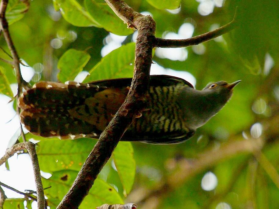 Sunda Cuckoo - Gopi Krishna