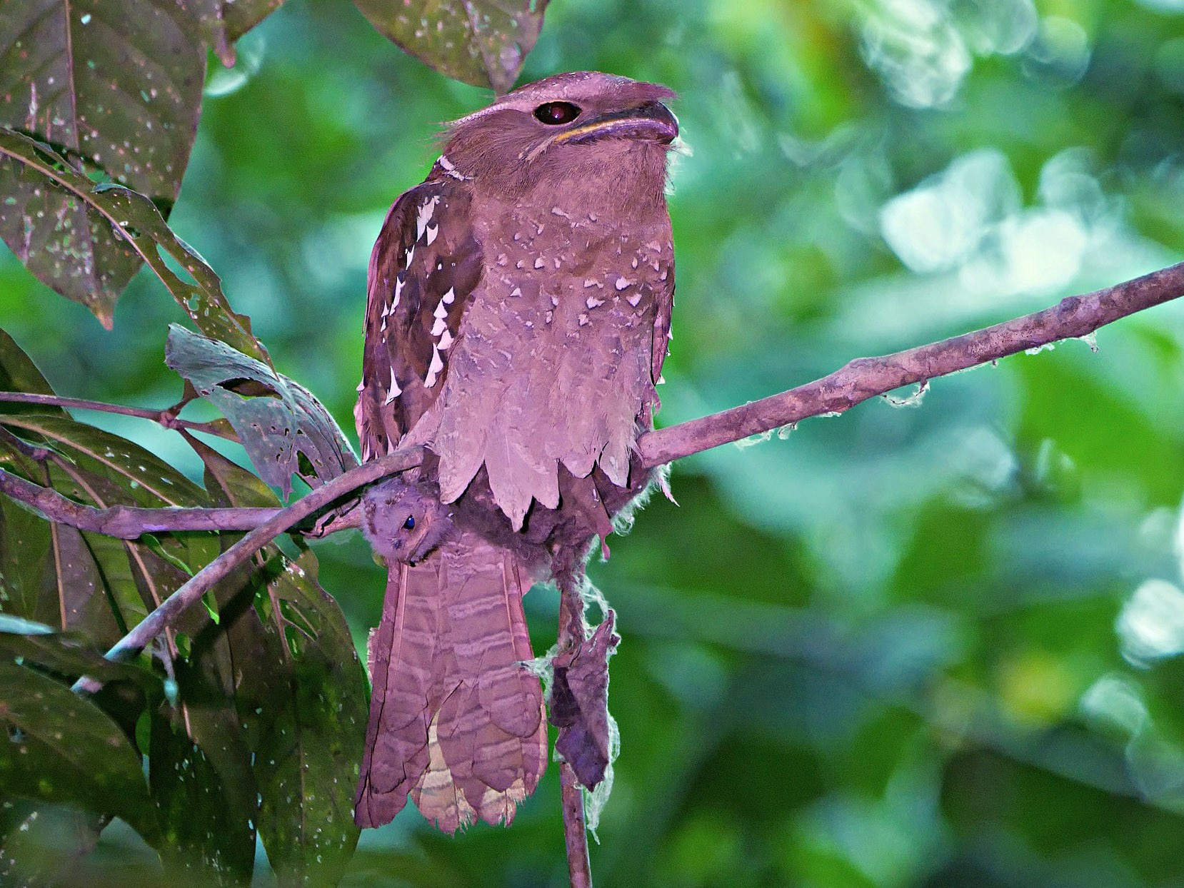 Large Frogmouth - Kai Soon Chan
