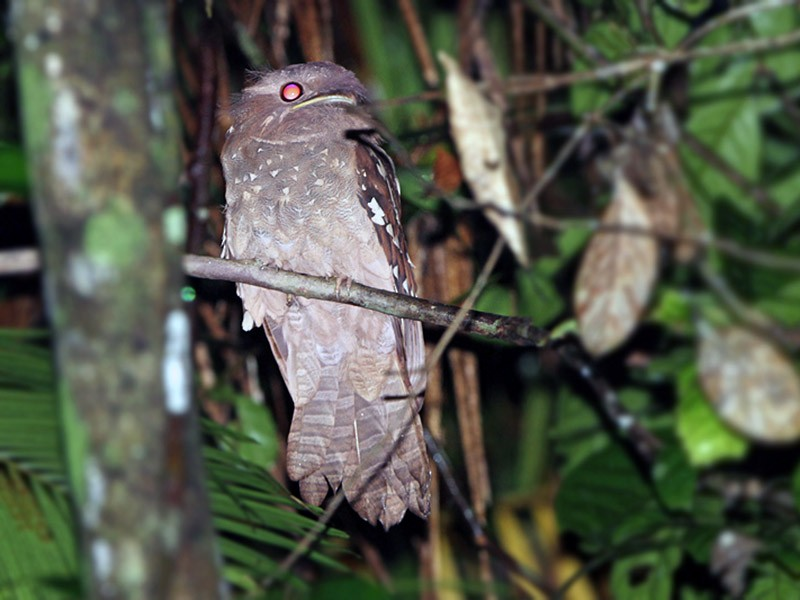 Dulit Frogmouth - James Eaton