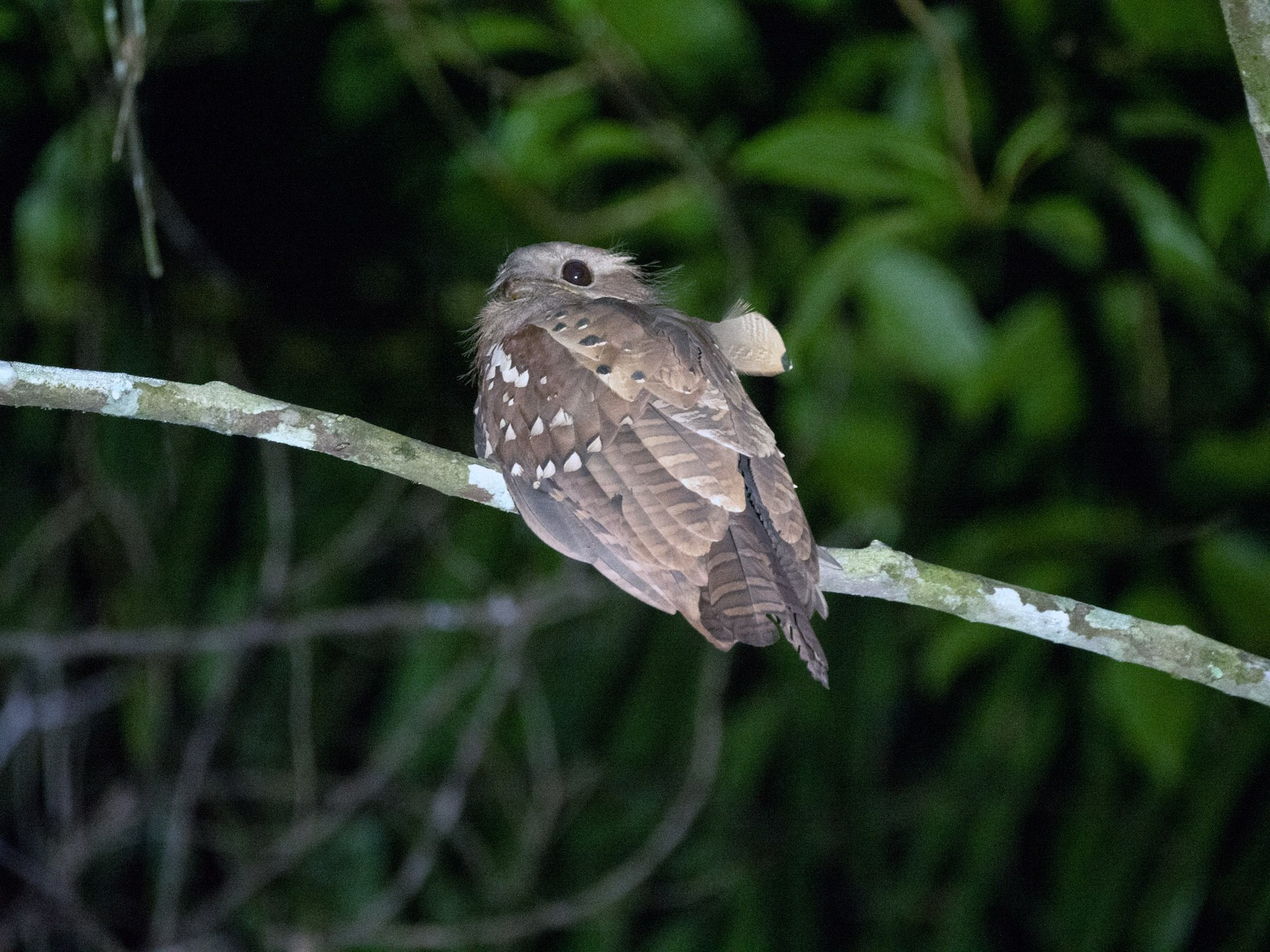 Dulit Frogmouth - Neil Broekhuizen
