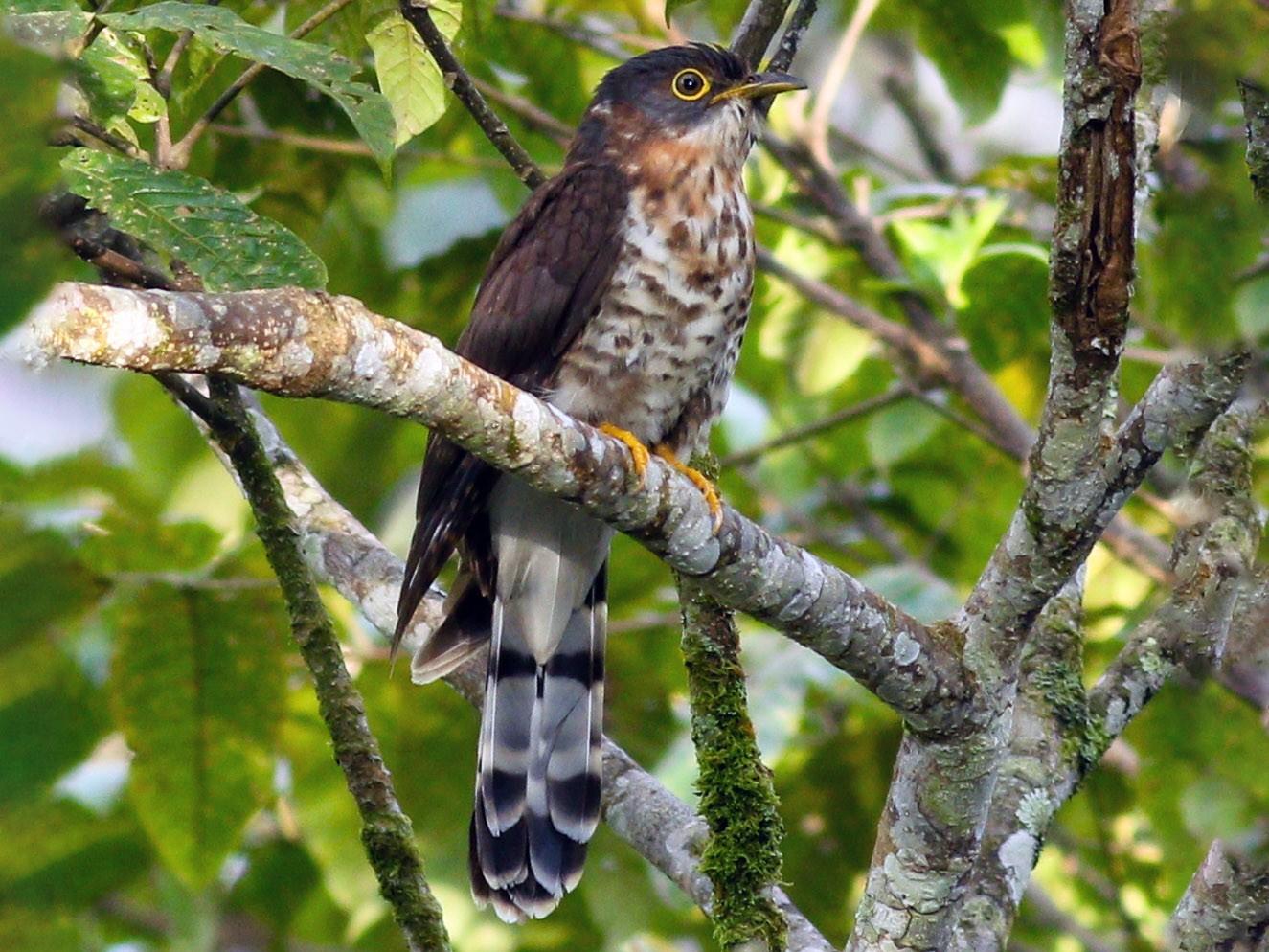 Dark Hawk-Cuckoo - Wilbur Goh Soon Kit