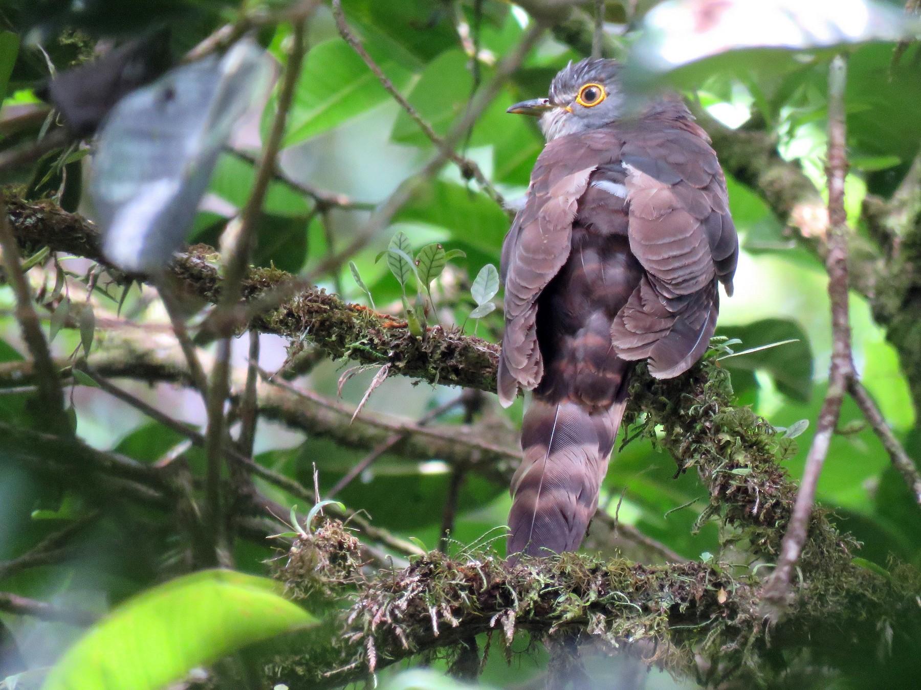 Dark Hawk-Cuckoo - Timothy Forrester