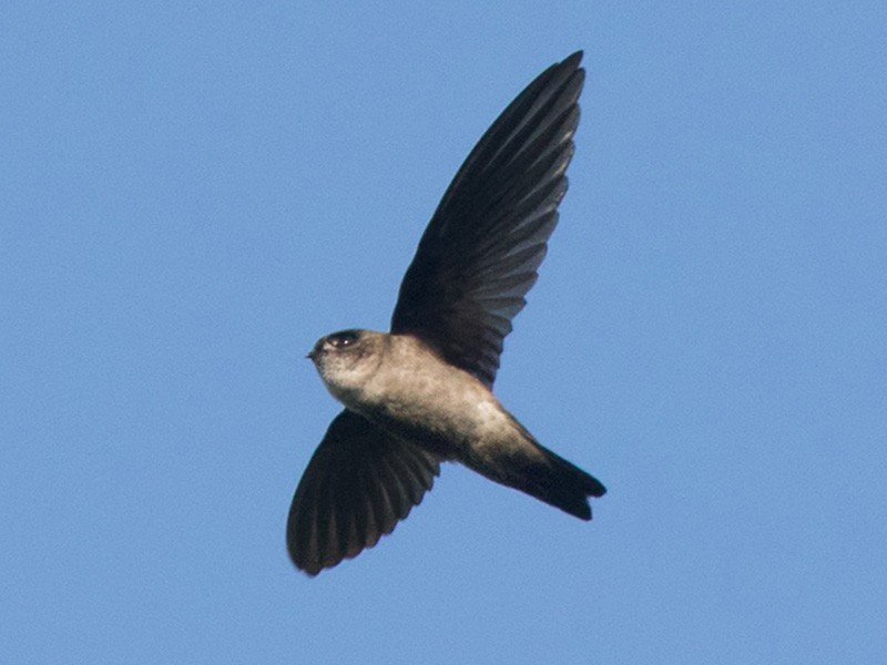 Glossy Swiftlet - Lars Petersson