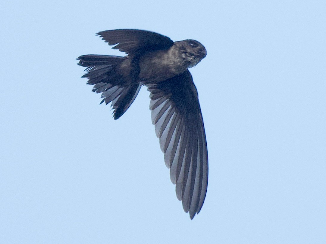 Mossy-nest Swiftlet - Qin Huang