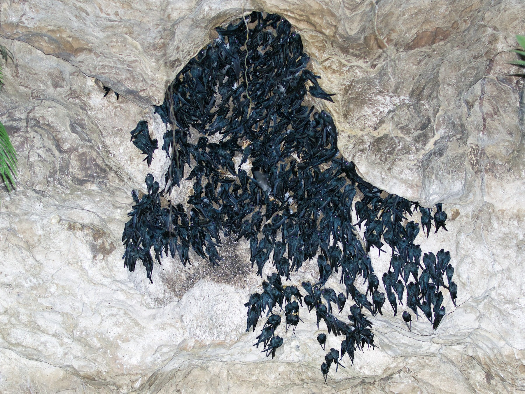 Mossy-nest Swiftlet - Scott Baker