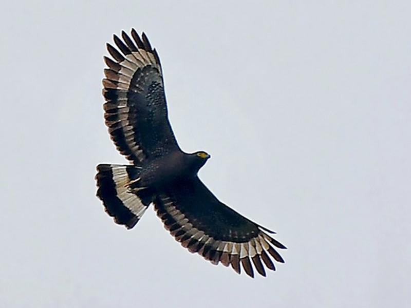Mountain Serpent-Eagle - Stijn De Win