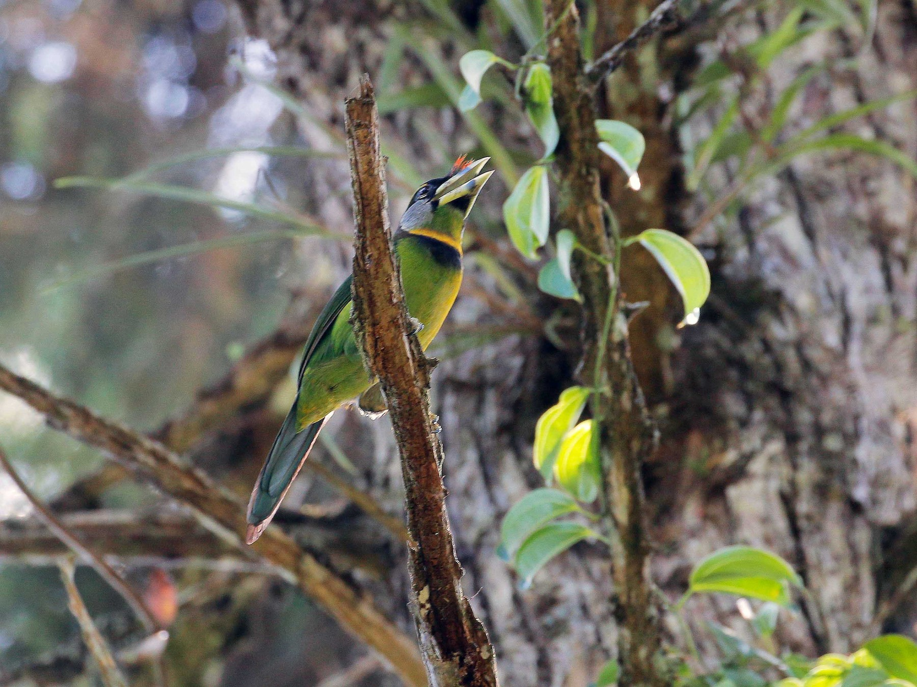 Fire-tufted Barbet - Neoh Hor Kee