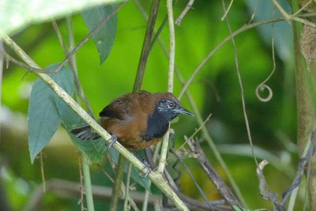 Black-throated Wren